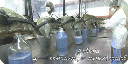 Добыча гемолимфы мечехвостов