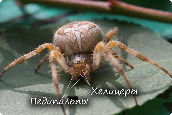 Хелицеры паука