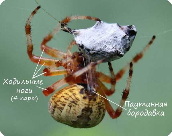 Паутинная бородавка паука