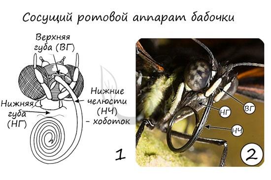 Сосущий ротовой аппарат бабочки