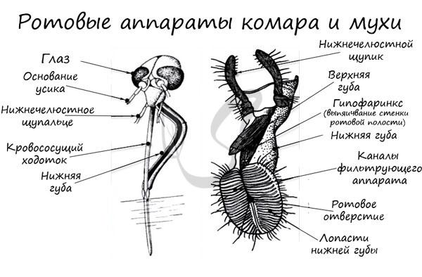 Ротовые аппараты комара и мухи