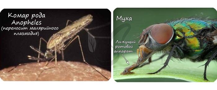 Представители отряда двукрылые: комар и муха