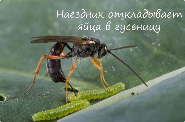 Наездник откладывает яйца в гусеницу