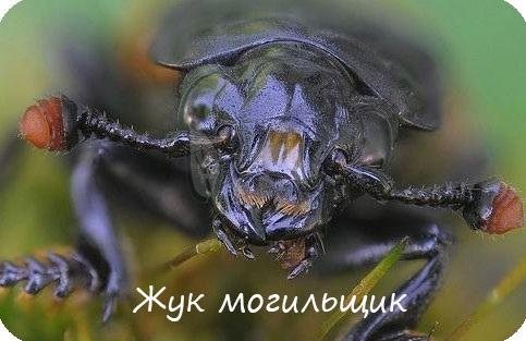 Жук могильщик отряд жуки