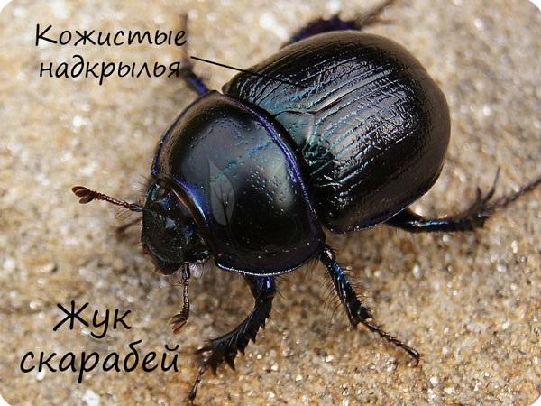 Жук скарабей отряд жуки