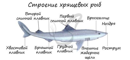 Строение хрящевой рыбы, акулы