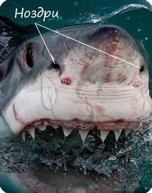 Ноздри акулы
