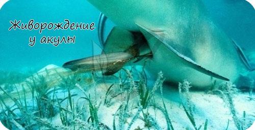 Живорождение у акулы