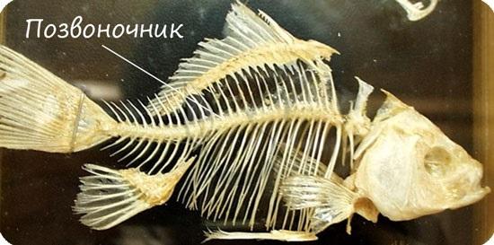 Позвоночник рыбы