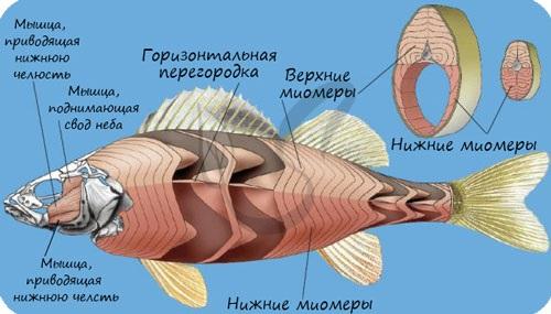 Мышцы рыбы