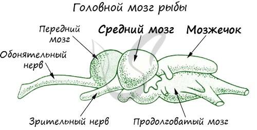 Головной мозг окуня