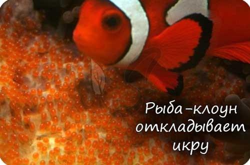 Рыба откладывает икру