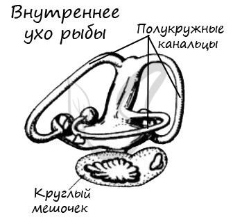 Внутреннее ухо у рыбы
