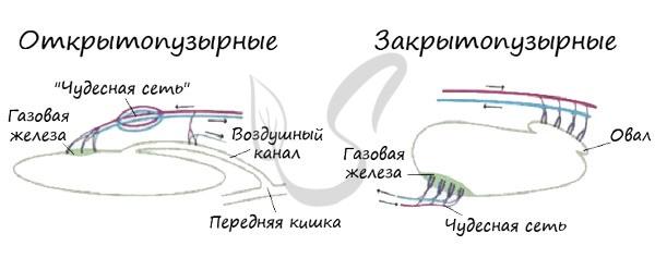 Открытопузырные и закрытопузырные рыбы
