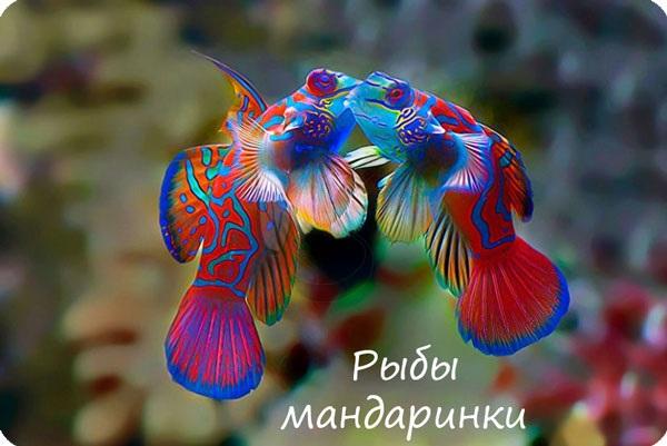 Рыбы мандаринки