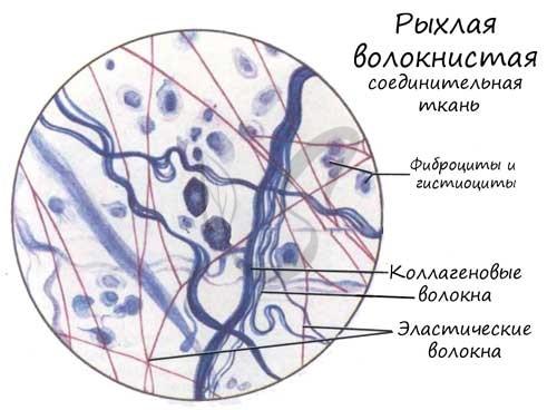 Рыхлая волокнистая соединительная ткань