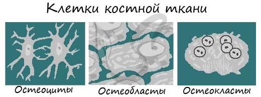 Клетки костной ткани: остеоцит, остеобласт и остеокласт