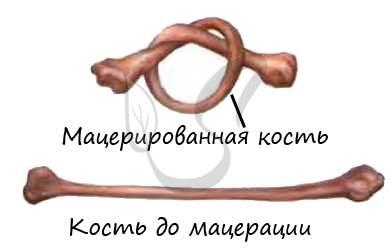 Органические вещества в кости, мацерация кости