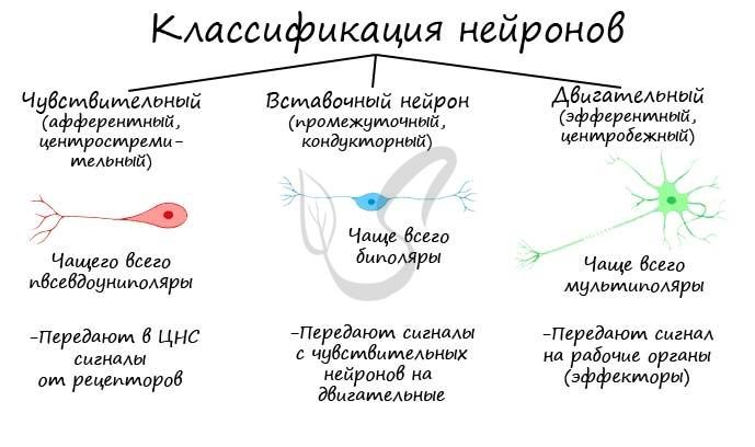 Классификация нейронов по функции