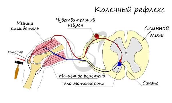 Схема коленного рефлекса