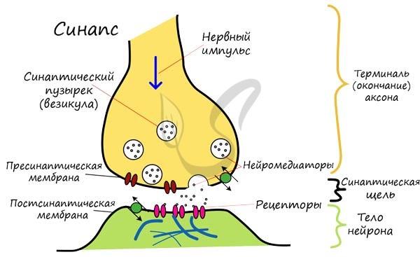 Нервный синапс, строение синапса