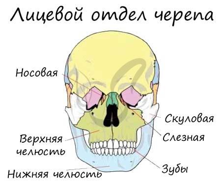 Лицевой отдел черепа
