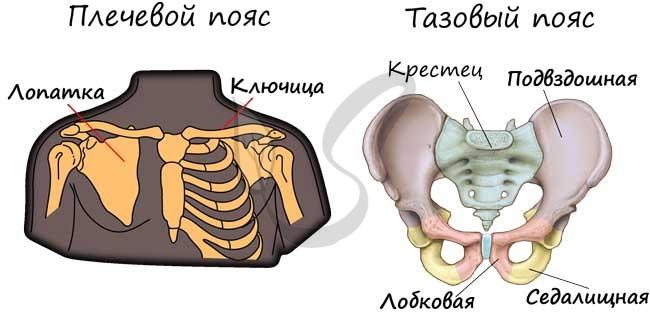 Плечевой и тазовый пояс человека