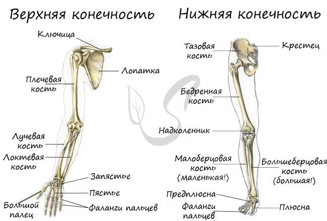 Верхняя и нижняя конечность человека