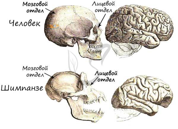 Череп человека и обезьяны