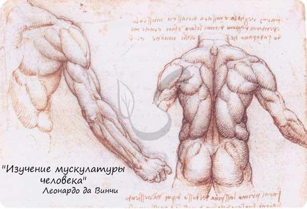 Леонардо да Винчи - Изучение мышц человека