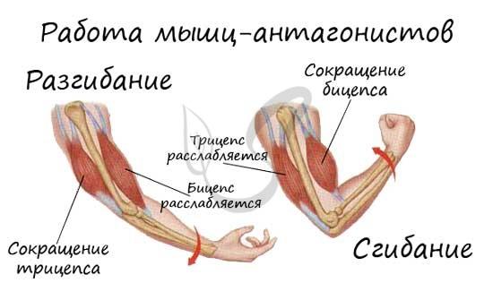 Бицепс и трицепс мышцы антагонисты
