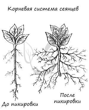 Пикрование корня