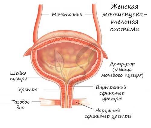 Женская мочеиспускательная система