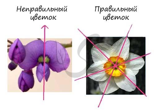 Правильные и неправильные цветки у растений