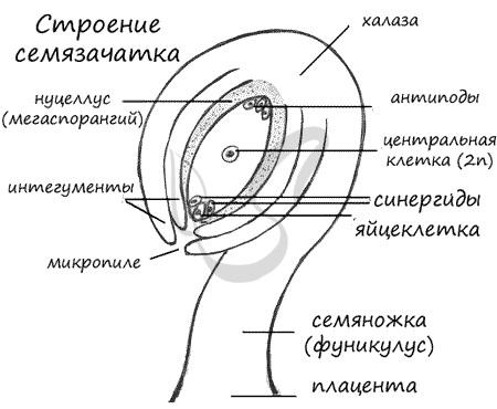Строение семязачатка (семяпочки)