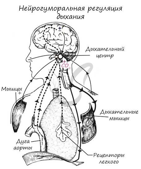 Нейрогуморальная регуляция дыхания