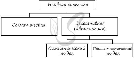 Соматический и вегетативный отделы нервной системы